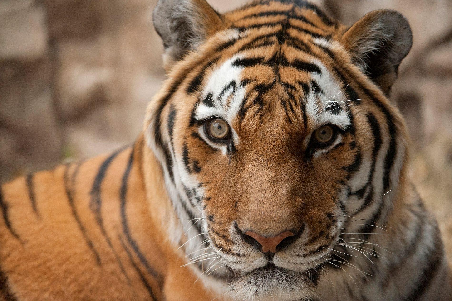 Thailandia – giocare con le tigri